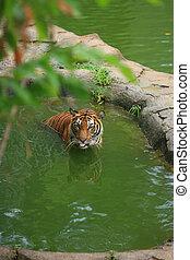tigre, malayo, baño