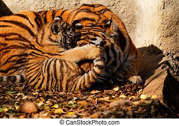 tigre, mamá