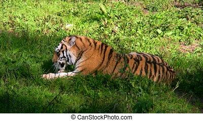 tigre, manger, sibérien, viande