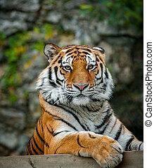 tigre, mirar, amur, cámara