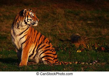 tigre, mirar, atrás, siberiano