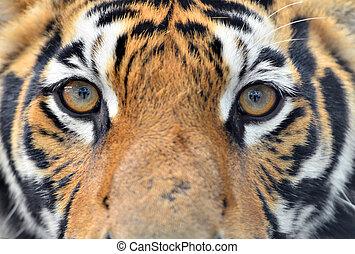 tigre, ojos, bengala
