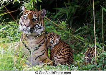 tigre, petits