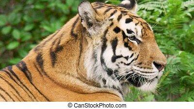 tigre, pluvieux, gros plan, forêt, pendant, saison