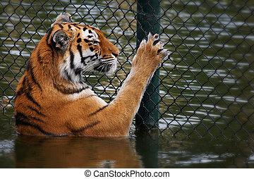 tigre, por, siberiano, cerca, miradas