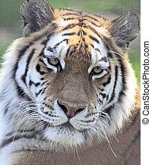 tigre, primer plano, amur