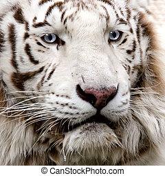 tigre, primer plano