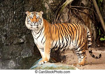 tigre, real, bengala