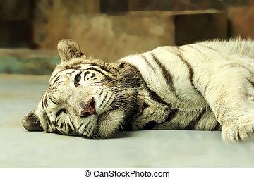 tigre, reposer, blanc