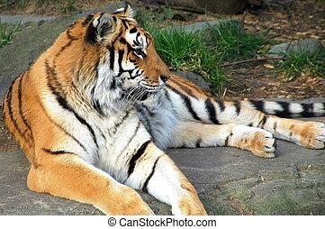 tigre, reposer, outdoors.