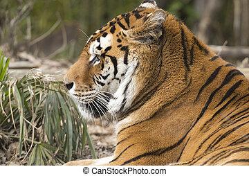tigre, reposer, zoo