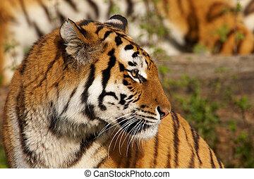 tigre, retrato, siberiano