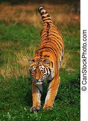 tigre, saltar, siberiano