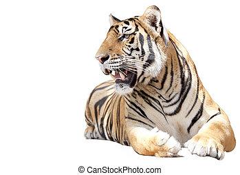 tigre, sentarse