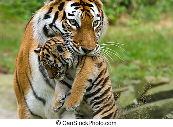 tigre, sibérien, petit