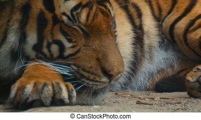 tigre, sibirian