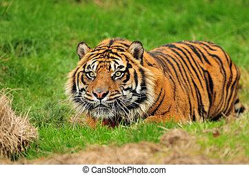 tigre, sumatran, caza
