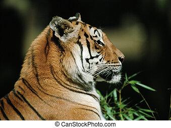 tigre, vue côté