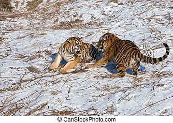 tigres, joven, lucha, siberiano