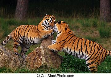 tigres, juego, siberiano, dos