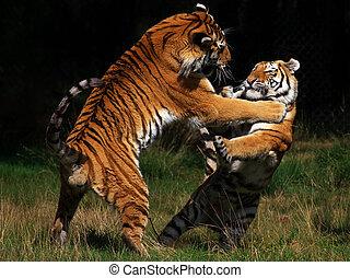 tigres, sibérien, baston