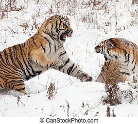 tigres, siberiano, lucha