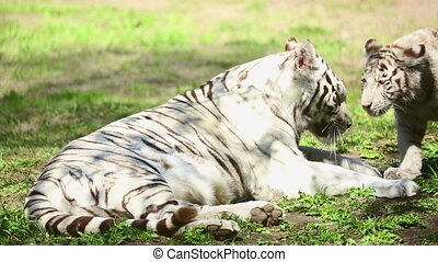 Tigress and her cub - Resting white tigress refuses to feed...