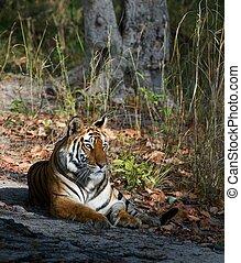 Tigress.
