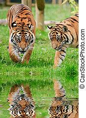 tigris, sumatran, groß, tiger, reflektiert, katz, wasser,...