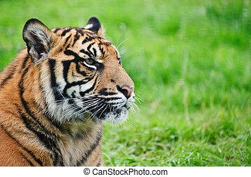 tigris, sumatran, große katze, tiger, sumatrae, panthera,...