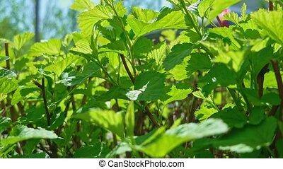 Tilia Platyphyllos Herbal Medicine Plant Garden Close Up. -...