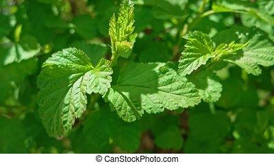 Tilia Platyphyllos Herbal Medicine Plant On Wind Close Up. -...