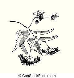 tilleul, arbre, arrière-plan., branche, fleurs blanches