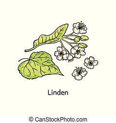 tilleul, croquis, naturel, isolated., feuilles, illustration, vecteur, brin, fleurs