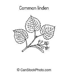 tilleul, feuilles, fleurs, branche
