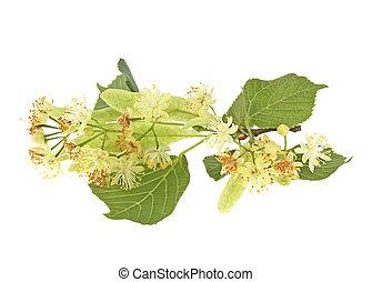 tilleul, fleurs blanches, isolé, fond