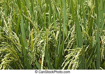 tillsluta, av, den, ris, in, den, fält
