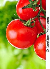 tillsluta, av, frisk, röda tomater, ännu, på, den, växt