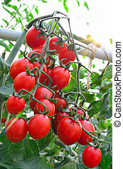 tillsluta, av, frisk, röda tomater