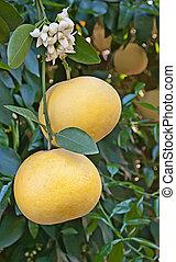 tillsluta, av, grapefrukt, med, blomma