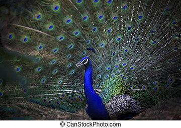 tillsluta, av, indier påfågel, med, vacker, svans fjädrar,...