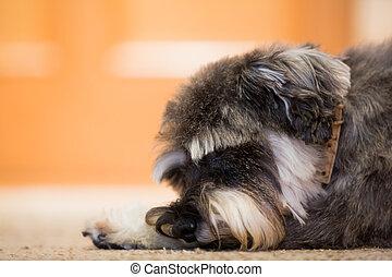tillsluta, av, liten hund, lägga på golvbeläggning