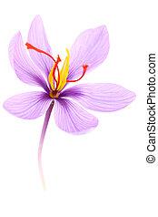 tillsluta, av, saffran, blomma, isolerat, vita, bakgrund