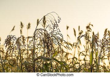 tillsluta, durra, in, fält, medel, solnedgång