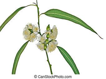 tillsluta, eukalyptus, blomma