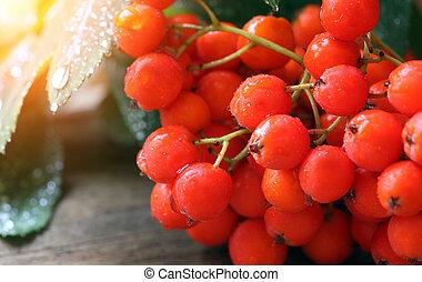 tillsluta, rowanberries