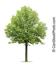 tilo, árbol