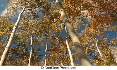tilt down into yellow aspen grove