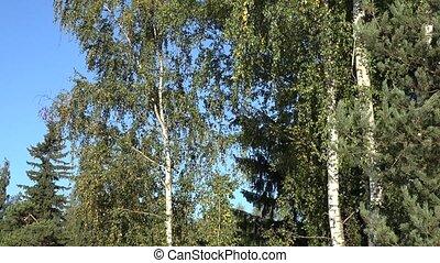 tilt down of beautiful green birch tree forest autumn time....