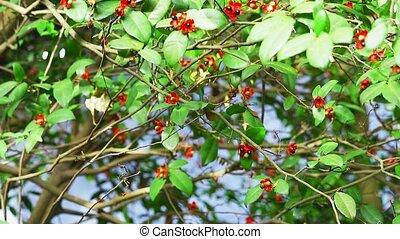 Tilt micky mouse or Ochna kirkii Oliv tree and seed